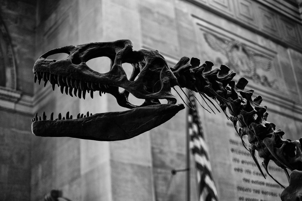 Allosaurus, New York natural history museum