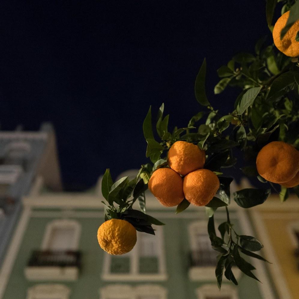 26 Valencia's orange trees