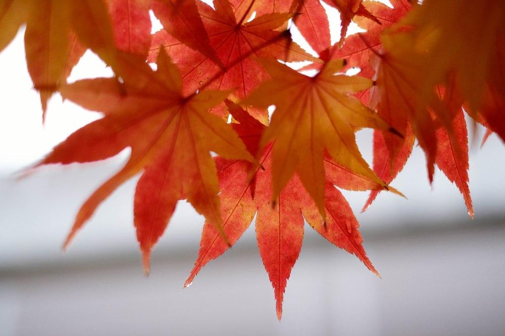10-japanese-maple