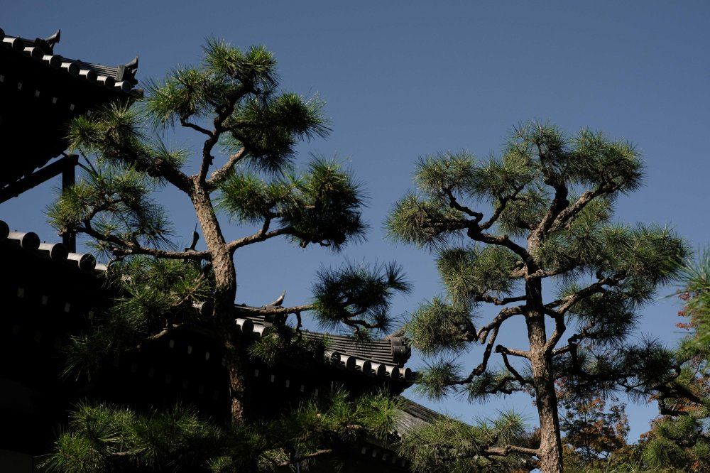 Kyoto temple and pine trees